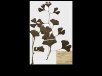 Гербарій судинних рослин #3